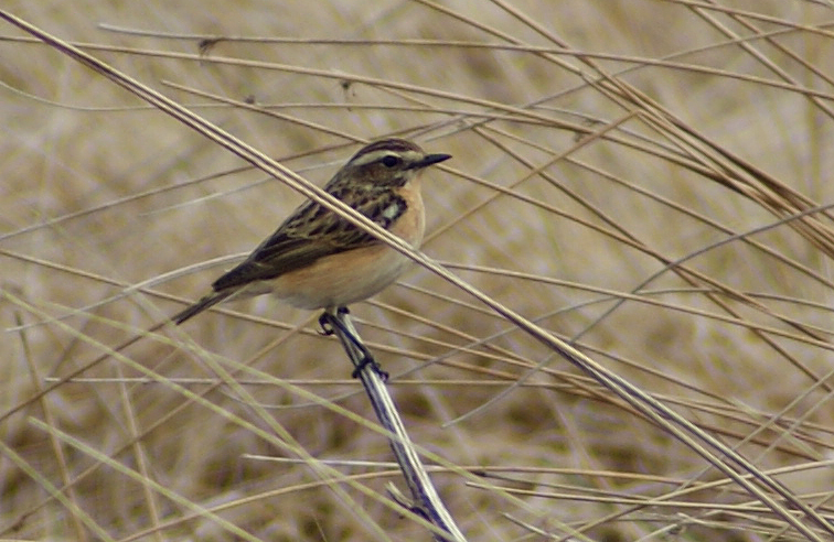 A whinchat on the Chayne