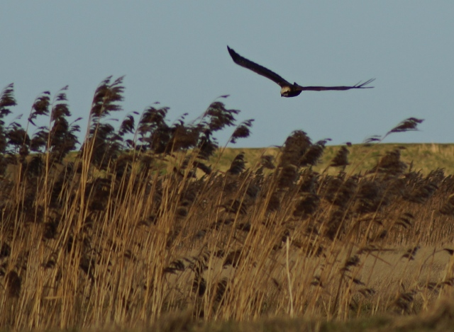 A marsh harrier over the Norfolk coast